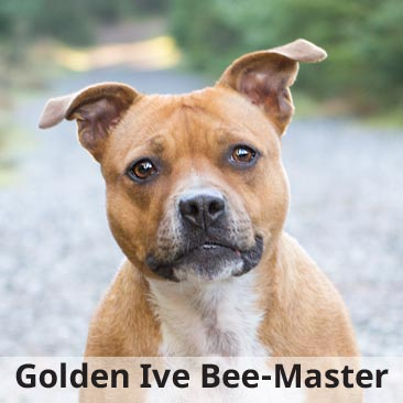 Golden Ive Bee-Master