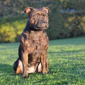 výcvik psů Bohemia Staff